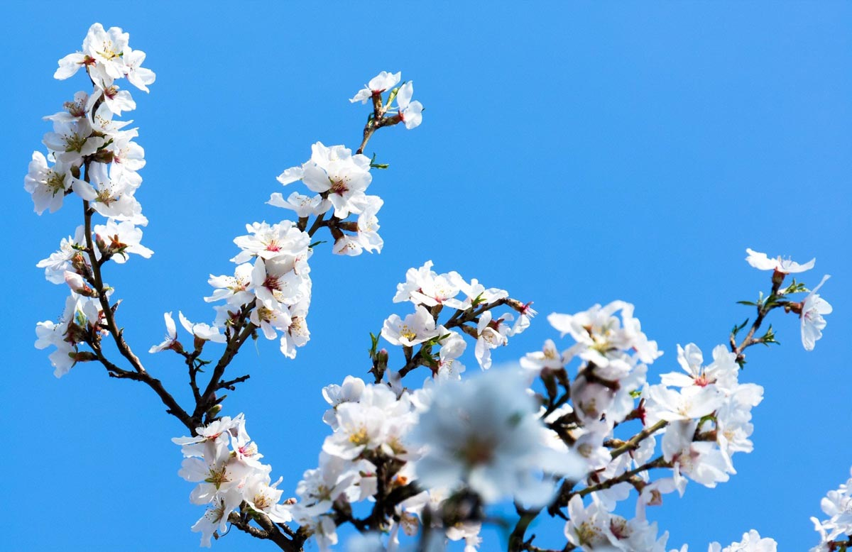 Körsbärsblom mot en blå himmel